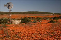 Spring Flowers in Namaqualand, South Africa. Wild Flowers, Spring Flowers, Out Of Africa, Windmills, Countries Of The World, Botanical Prints, South Africa, Fields, Places To Go