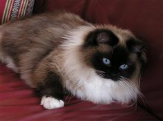 Ragdoll cat. This is the type of cat I want.