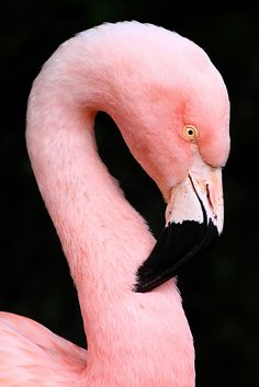 Flamingo ♥  Let's protect our world! Help saving the planet so we can all live to continue seeing these amazing animals! Help protect their home also our home!