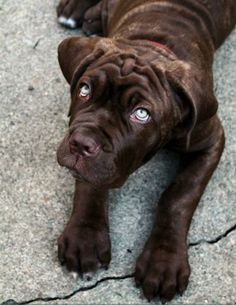 Mastiff adorable---those eyes!! Wow