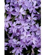 Emerald Blue Creeping Phlox (Phlox subulata 'Emerald Blue') - Plant a carpet of color! Beautiful masses of deep blue flowers top creeping stems and make an attractive groundcover or accent in a rock garden. Excellent bank cover. Tolerates some drought when established. Evergreen.