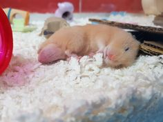 Sleep tight little one! #aww #Cutehamsters #hamster #hamstersofpinterest #boopthesnoot #cuddle #fluffy #animals #aww #socute #derp #cute #bestfriend #itssofluffy #rodents