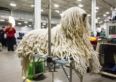 17 Awesome komondor dog grooming images