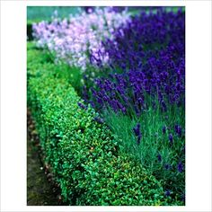 Buxus hedge edge with lavender for the front garden! This would look so pretty. Formal Gardens, Outdoor Gardens, Landscape Design, Garden Design, Boxwood Garden, Edging Plants, Landscaping Retaining Walls, Garden Borders, Garden Path