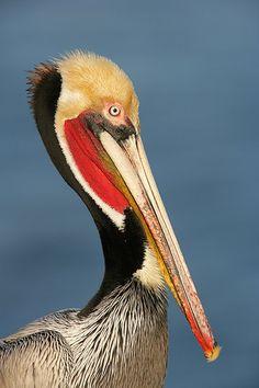 California Brown Pelican, La Jolla, San Diego, California by Arthur Morris