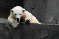 Brookfield Zoo - Polar Cub Polar Cub, Polar Bear, Brookfield Zoo, Cubs, Animals, Animales, Bear Cubs, Animaux, Animal
