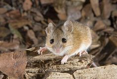Fulvous Harvest Mouse (Reithrodontomys fulvescens)