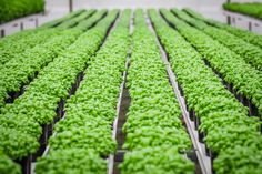We nurture each plant in our nursery until it has a full canopy of leaves, is perfectly sized and ready to be picked fresh by you! Canopy, Nursery, Leaves, Fresh, Plants, Room Baby, Baby Room, Canopies, Planters