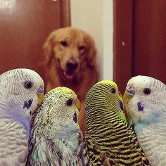 Muhabbet kuşları köpeğe karşı...