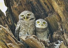 Spotted Owlets, by Michael Tay | Flickr