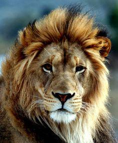 Majestic Lion.
