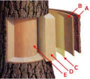 Anatomy of a Tree, What the tree rings tell us, pictorial timeline how a pinecone sheds a seed and becomes a tree. Girl Scout Badges, Girl Scout Troop, Girl Scouts, Cub Scouts, Cadette Badges, Arbor Day Foundation, Scout Activities, Nature Activities, Tree Study