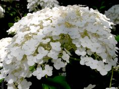 Giant flower of an Incrediball Annabelle Hydrangea