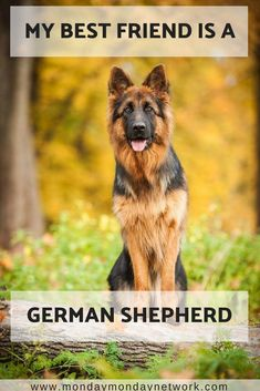 My best friend is no other than my German Shepherd