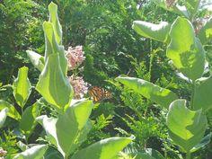 Beautiful Monarch- www.gordonspark.com Manitoulin Island, Gordon Parks, Plant Leaves, Wildlife, Plants, Beautiful, Plant, Planets