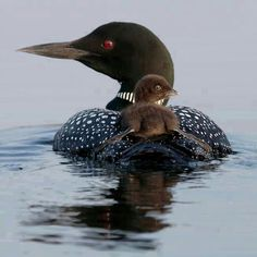 Loon. The state bird of Minnesota                                                                                                                                                                                 More