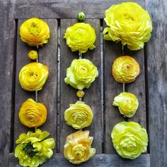 Ranunculus is yellow, yellow picotee and gold. Grown by Bare Mtn Farm