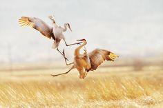 Sandhill Cranes - Announcing the 2015 Audubon Photography Awards | Audubon
