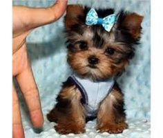 Yorkie Puppies For Adoption, Yorkie Puppy For Sale, Cute Dogs And Puppies, Baby Dogs, Pet Dogs, Pets, Doggies, Puppies For Sale, Akita Puppies