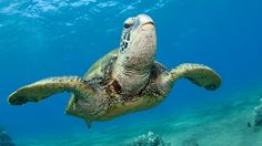 There are numerous endangered species in the ocean, many of which are whales and turtles. Some notable examples are the blue whale, sperm whale, Kemp's ridley turtle and hawksbill turtle. There are...