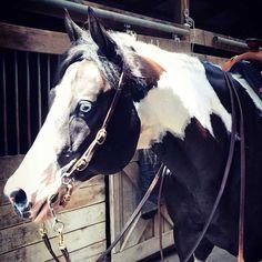 Nouveau Horse Tack White /& Blue Nylon bridle SHOWMAN Red poitrine col /& Bride set