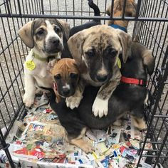 The B pups are leaping over each other for a chance to be adopted by YOU! The B pups are 8 week old boxer/hound mixes arriving tomorrow! If you hurry to http://ift.tt/1vS2A9I and apply to adopt you may just land the puppy of your dreams!  #rescuedog #rescue #fosterdog #foster #adoptdontbreed #adopt #adoptus #adoption #adoptadog #puppy #pupplove #puppydogeyes #rescuepups #rescuepuppy #rescuedogs #rescuedogsofinstagram #rescuedogsrock