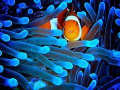 pez payaso escondido en una anemona