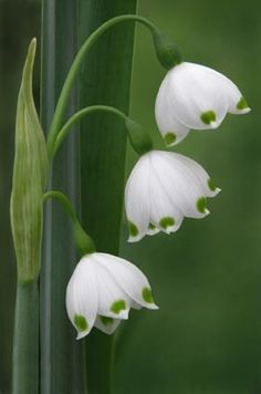 Close-up of Lily-of-the Valley: Convallaria majalis [Family: Asparagaceae] - So delicate-looking and so beautiful.