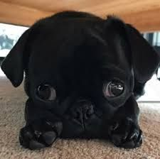 Image result for adorable #pug puppies