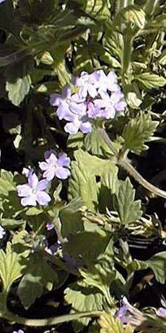 Gooding Verbena (Glandularia  gooddingii)