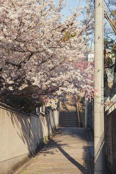 "mizunokisu: ""天王寺七坂の桜 by igu3 on Flickr. """
