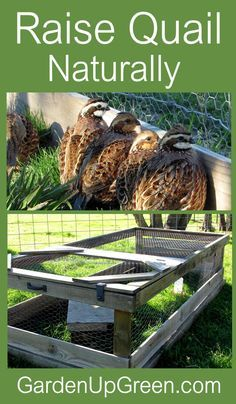 Thinking about raising quail in your backyard.  Find out how you can do this naturally on the ground.  Raise Quail  for the purpose of eggs and meat.