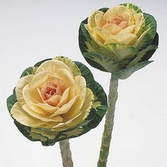 Брассика Красивые Цветы, Необычные Цветы, Съедобные Цветы, Растения, Naturaleza, Цветы, Восход