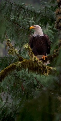 Bald Eagle on the Santiam River in Oregon