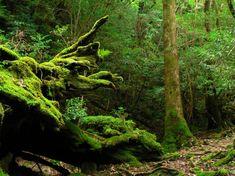 В 1993 году остров #Якусима стал первым японским регионом, который был внесен в список всемирного наследия #ЮНЕСКО. И с тех пор более 300 тысяч туристов ежегодно посещают остров.   Всего на острове можно увидеть большое количество различных видов фикуса, карликовые каштаны и высокие дубы. На острове растет уникальный кедровый лес, возраст которого, по мнению специалистов, составляет 7200 лет. Вы только представьте, что в диаметре некоторые деревья достигают 16 метров.