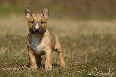Miniatur Bullterrier puppy
