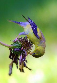 Thistle feeder...
