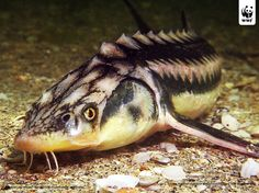 The lake sturgeon (Acipenser fulvescens), also called rock sturgeon or reddy sturgeon, is a North American temperate freshwater fish, one of about 25 species of sturgeon.