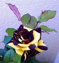 """Sin olor no hay flor completa. Beautiful Rose Flowers, Unusual Flowers, Unusual Plants, Rare Flowers, Amazing Flowers, Purple Flowers, Rare Roses, Gothic Garden, Flower Pictures"
