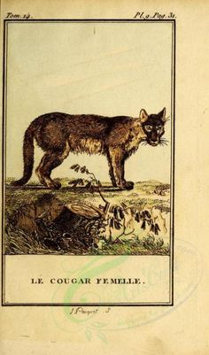Cougar (Fr) - high resolution image from old book. Old Books, Printable Paper, 18th Century, Mammals, Moose Art, Toms, Royalty, Father, Clip Art