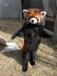 red panda standing up