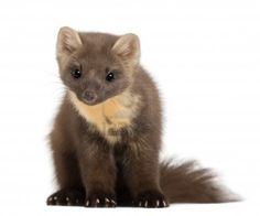 14275989-european-pine-marten-or-pine-marten-martes-martes-4-years-old-sitting-against-white-background.jpg (1200×999)
