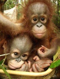 Orangutan Foundation International