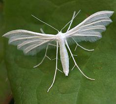 White plume moth (Pterophorus pentadactyla).