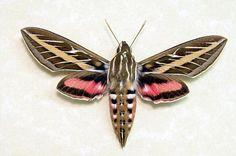 white-striped hawk moth