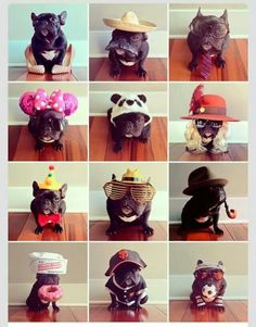 J'adore... ... trotter, the French Bulldog in assorted costumes, @trotterpup on instagram.