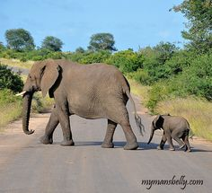 Awe I want to see them in person in the wild -------Kruger Park South Africa Safari of the Photo Persuasion African Elephant, African Safari, Animals Beautiful, Cute Animals, Beautiful Creatures, Kruger National Park, National Parks, South Africa Safari, Wild Creatures