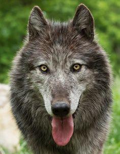 #wolf ´#wolfe