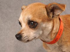 Adopt Ginger, a lovely 7 years  3 months Dog available for adoption at Petango.com.  Ginger is a Chihuahua, Short Coat and is available at the National Mill Dog Rescue in COLORADO SPRINGS, CO