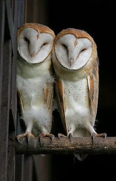 A duo of cute barn owls, anyone?